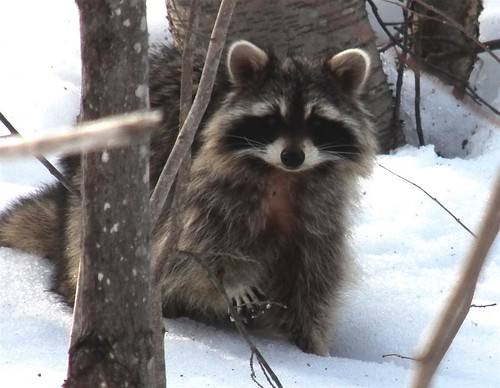 Raccoon 2014 04 07 (2)