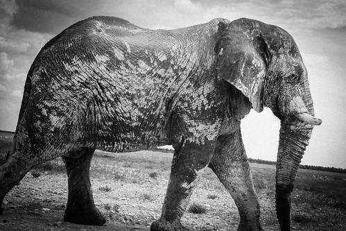 Majestic Elephant, Etosha NP