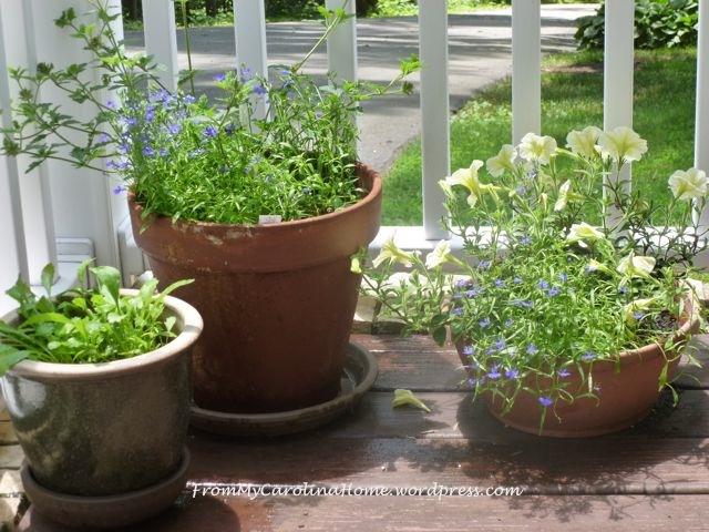 lobelia and petunias in pots June 2104