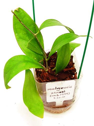 Hoya aff. mindorensis (IML 1777)