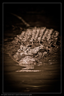 Saltwater crocodile - Daintree river, Queensland