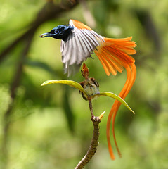 bird of Paradise (asian)