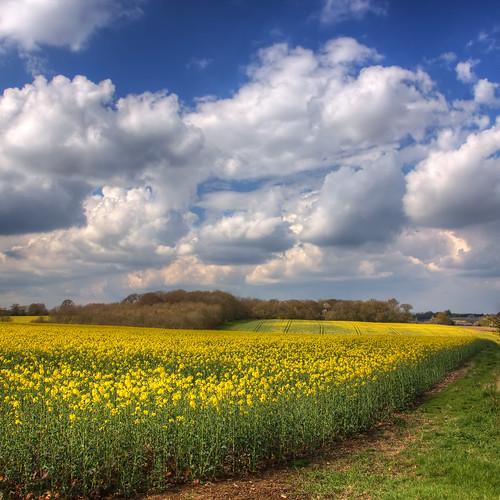 spring april hertfordshire oilseedrape mf12 roantrum