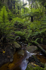 Blechnum discolor Crown Fern and Dicksonia squarrosa wheki tree fern under forest canopy, Whenua Hou, New Zealand_MG_7823