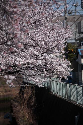 2012.04.07 八分咲き
