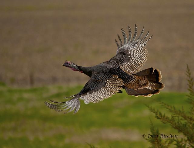Wild turkey flight - photo#22