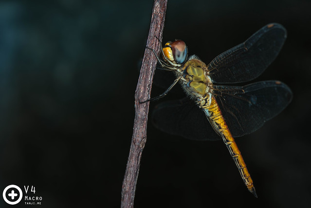 A female Blue Dasher (Brachydiplax chalybea ♀)