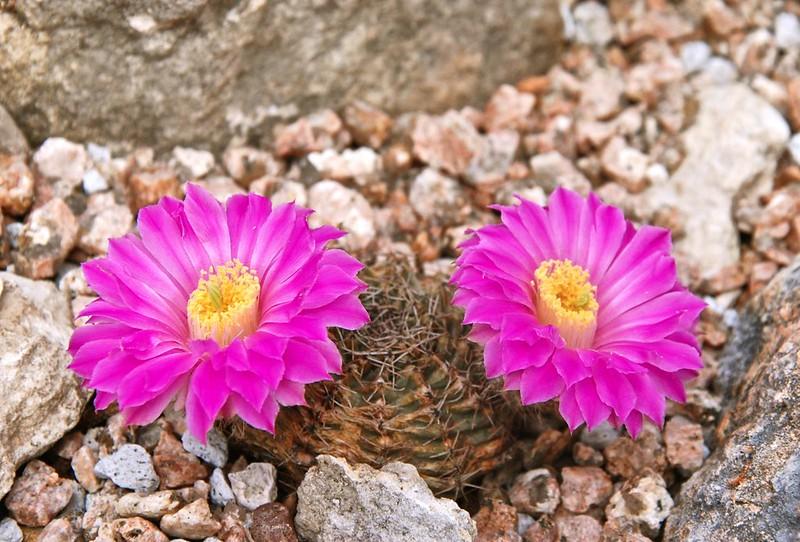 Lost-Da-Tag Cactus