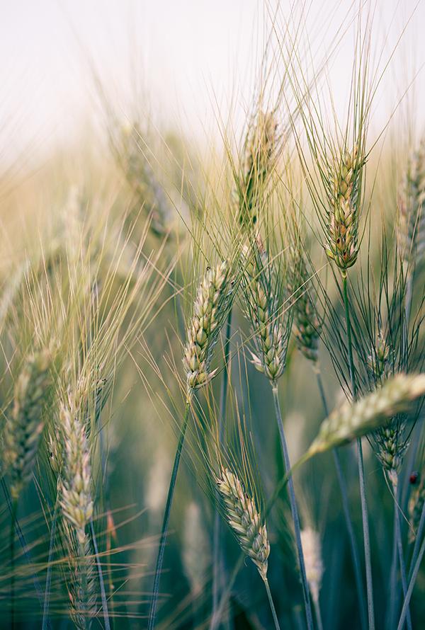 שדה חיטה, חיטה, שבועות, גבעולים, barley field, wheat field, wheat detail, israel, summer