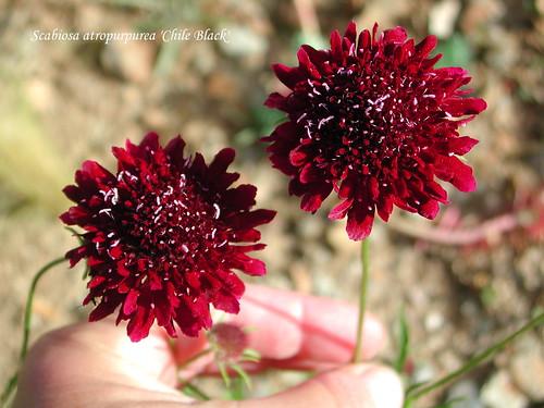 Scabiosa atropurpurea 'Chile Black'