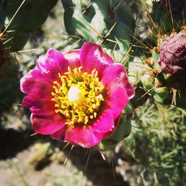Coastal Cholla flower