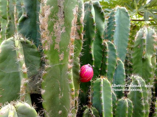 Fruto del cactus ii para ver m s fotos de bocon visita for Fotos de cactus