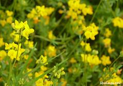 brassica(0.0), vegetable(0.0), common rue(0.0), chelidonium(0.0), wildflower(0.0), produce(0.0), food(0.0), common tormentil(0.0), canola(1.0), shrub(1.0), flower(1.0), yellow(1.0), mustard plant(1.0), brassica rapa(1.0), plant(1.0), mustard(1.0), subshrub(1.0), herb(1.0), flora(1.0), rue(1.0), meadow(1.0), rapeseed(1.0),