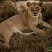 Female Lion Pair - Serengeti, Tanzania
