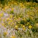 daisies by emilyharriet