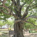 tree where the Khmer Rouge played music to cover up screams