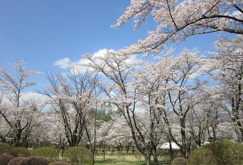 5.7聖光寺の桜 by Poran111