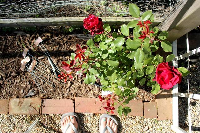 the rosebush that is not mine