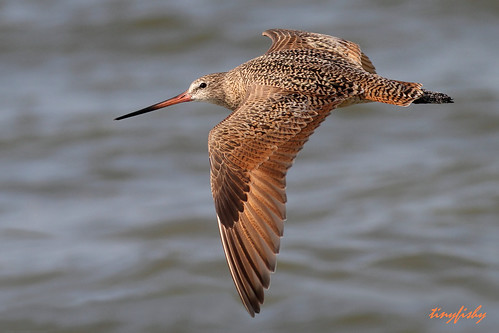 Improved : A Marbled Godwit From Tampa Bay, Florida