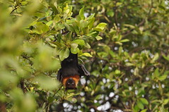 Common Flying Fox: Pteropus vampyrus