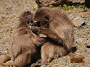 Gelada Monkey Grooming, Ethiopian Simien Mountains
