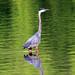 CL Great Blue Heron 51914 (2) by maerlyn8