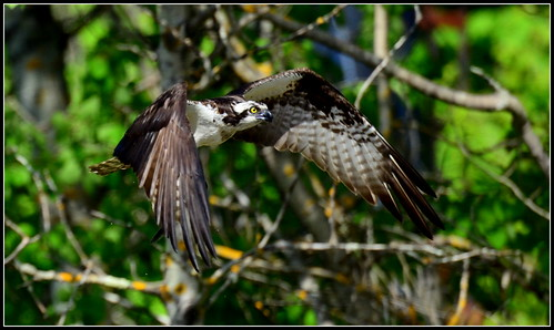 Osprey on the hunt over the Presumpscot River in Falmouth, ME. Shot in manual mode w/ auto iso. EV -2/3 of a stop.