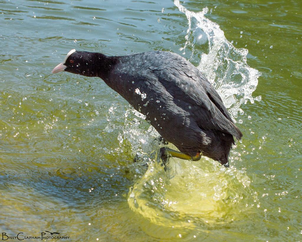 coot stomp splash jump nikon d3200 billy clapham