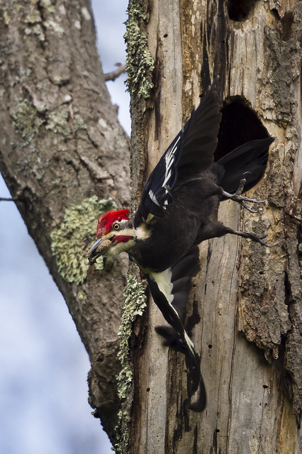 pileated woodpecker 6