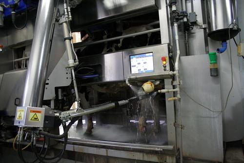 Robotic Milker Cleaning Udder