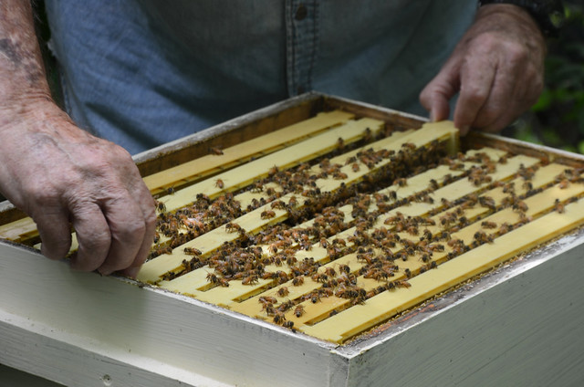 Local Beekeepers React to Plan to Save Bees, Other Pollinators from Flickr via Wylio