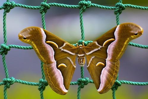 green japan moth rope knot f18 knots brownmoth walkingtowork backstop motosu greenrope ailanthussilkmoth canon50d gifuprefecture baseballbackstop 50mmcanonf14 samiacynthia brownandpinkmoth