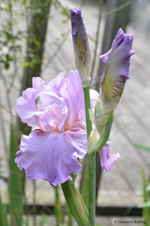 Soft lavender iris, by Elizabeth Ruffing