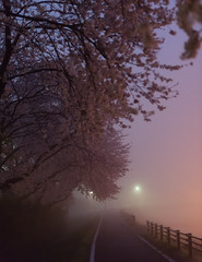 Misty cherry blossom road