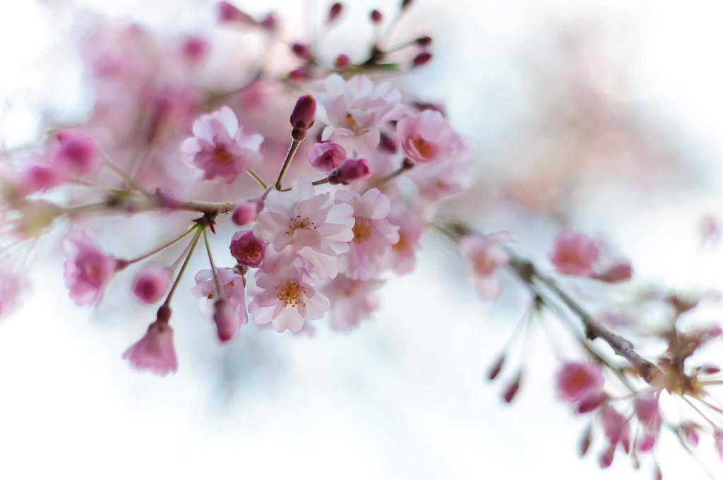 Sakura 2012