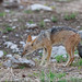 The black-backed jackal (Canis mesomelas), also known as the silver-backed or red jackal