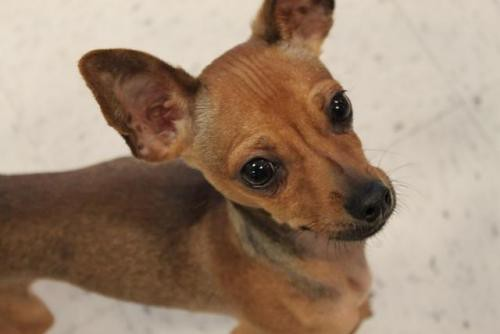 SLUGGER FOR HEATHER | Chihuahua/Dachshund Mix | Flickr - Photo Sharing ...