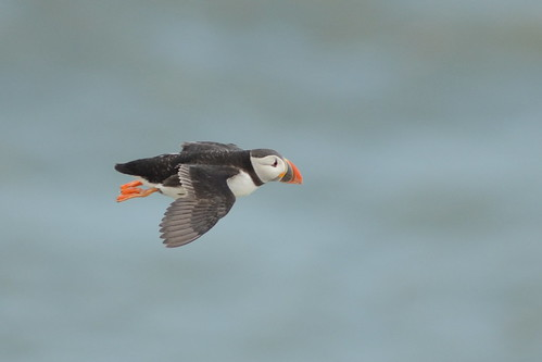 Flying Puffin at Bempton