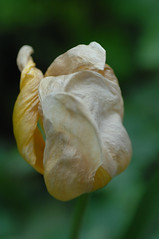 a dying yellow tulip