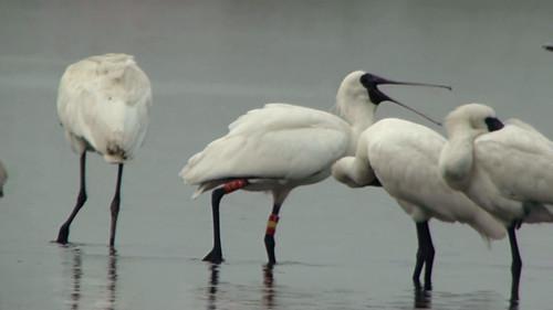 野放的黑面琵鷺E21與其他同伴於嘉義南布袋鹽田活動。(攝影:蔡青芠)