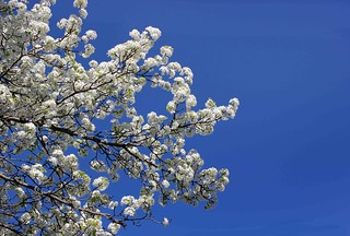 The Pear Blossoms