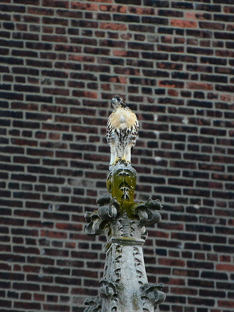 Cathedral Hawk Fledgling (2099)