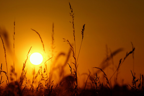 uk light sunset sun colour grass june silhouettes solstice grasses wiltshire salisburyplain stevemaskell 2014 wilts naturethroughthelens yahoo:yourpictures=powernature
