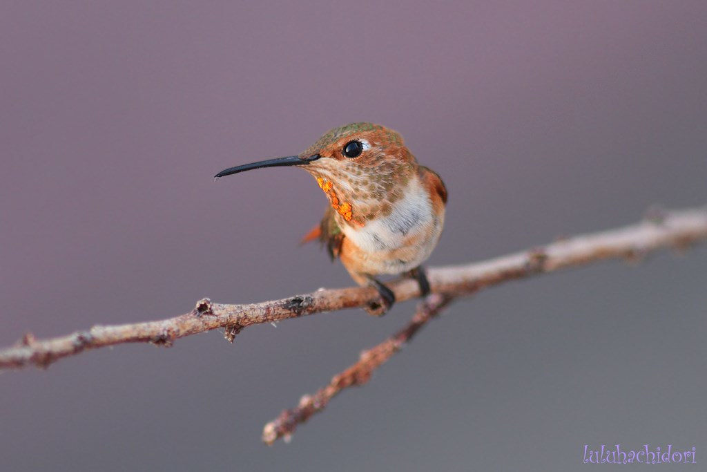 immature male Allen's Hummingbird 250614-2