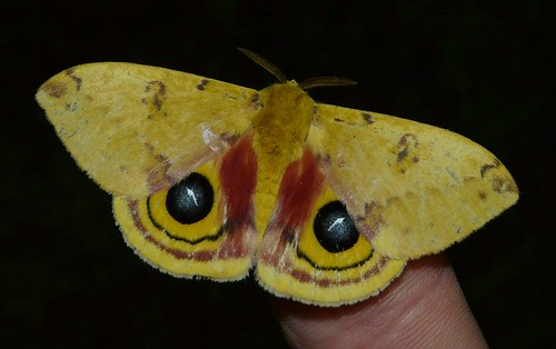Automeris io - Io Moth - Hodges#7746