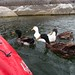 Small photo of Pushy Ducks