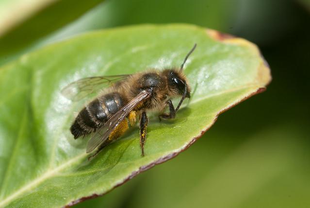 Andrena carantonica (f)