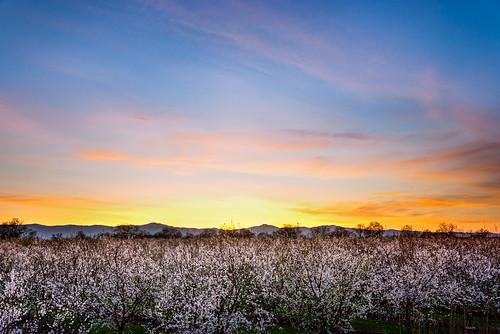 california ca sunset spring unitedstates blossom almond orchard bloom redbluff