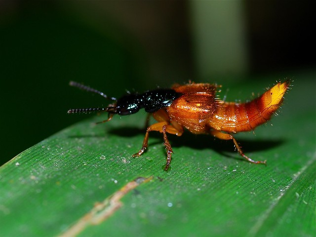 Header of Staphylinidae