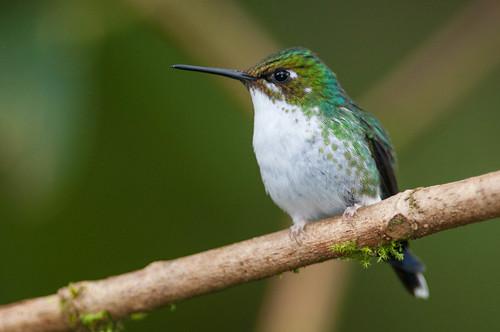 birds animals ecuador hummingbirds animalia vertebrates trochilidae pichincha urostictebenjamini purplebibbedwhitetip
